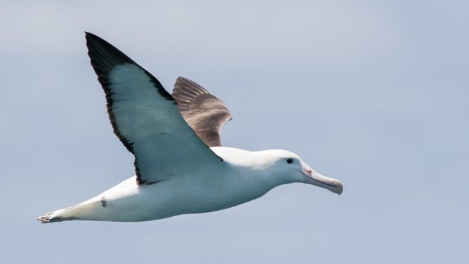 Albatrosses Help to Detect illegal Fishing