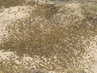 Largest Grasshopper Swarms in 70 Years in Kenya